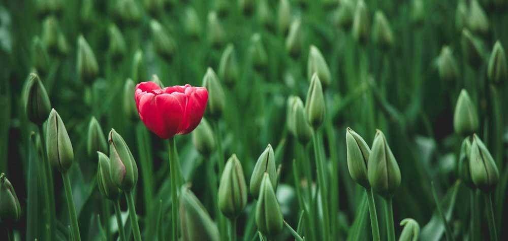 Single flower open in field of tulips