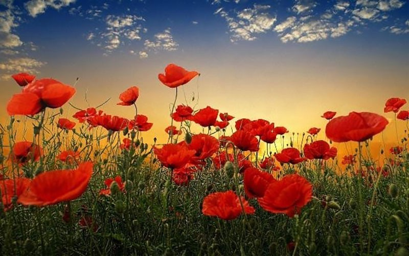 Poppies in field at sunrise