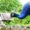 Peacock at Mill Creek Park