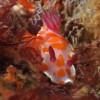 Clown nudibranch, Te Whanganui-a-Hei Marine Reserve