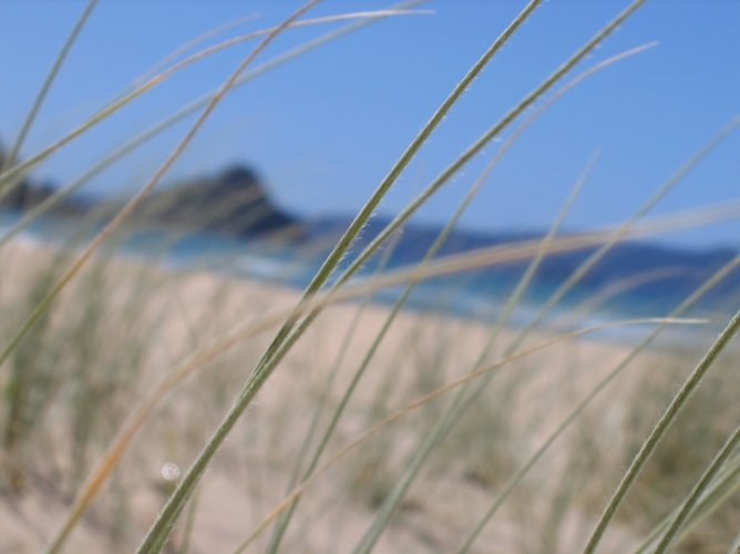 Dune planting day Buffalo Beach Whitianga