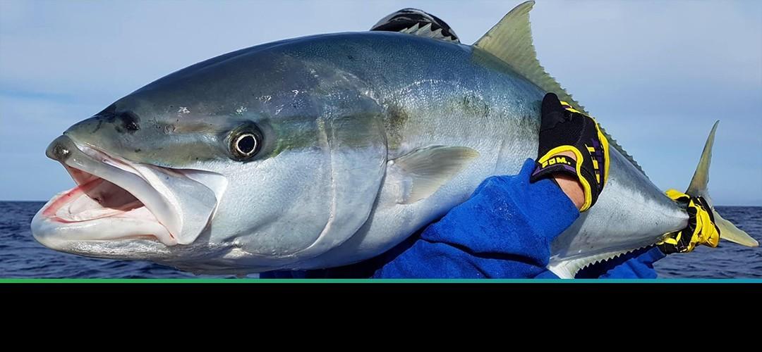 Kingfish on mans shoulder