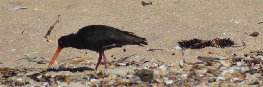 Oystercatcher at front beach by Nick Goldwater
