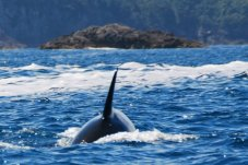 Orca in Champagne Bay on Cathedral Cove Cruise