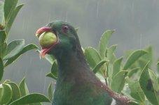 Keruru, Native Wood pigeon - NZ Forest and Bird