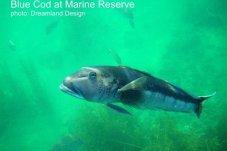 Blue Cod at Te Whanganui-A-Hei (Cathedral Cove) Marine Reserve