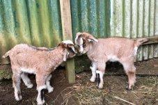 Goats at Mill Creek Bird Park