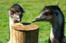 Emu at Mill Creek Park