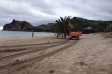 pheonix palm removal hahei beach.png