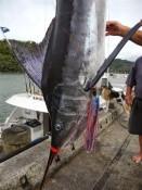 BILLFISH CLASSIC TOURNAMENT MERCURY BAY GAME FISHING CLUB