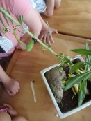 Swan plants and caterpillars at Peanuts Childcare Centre Whitianga