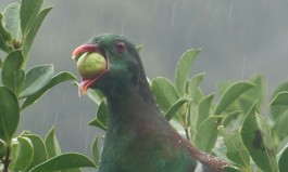 Keruru, Native Wood pigeon - NZ Forest and Bird