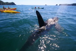 Orca in Whitianga Kayaking Cathedral Cove, New Zealand