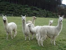 Alpacas at Mill Creek Park