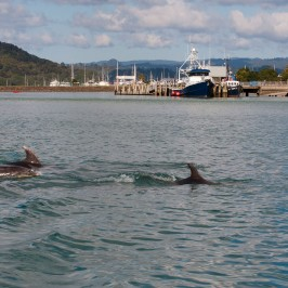 Whitianga Harbour Dolphins