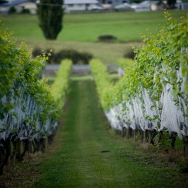 Mercury Bay vineyard
