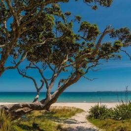 Otama beach pohutakawa tree