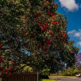 Cooks Beach Pohutukawa tree