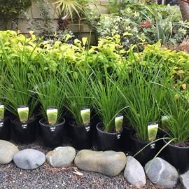 Pots of grasses