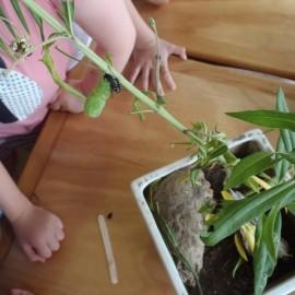 Swan plants and caterpillars