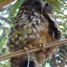 Molly the morepork lives at Peanuts we are so lucky