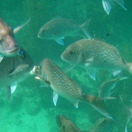 Snapper at Te Whanganui-A-Hei (Cathedral Cove) Marine Reserve