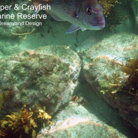 Snapper and crayfish at Te Whanganui-A-Hei (Cathedral Cove) Marine Reserve
