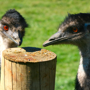 Two Emu by post